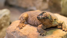 Leptien's Spiny Tail Lizard