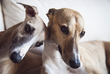 Two Lovely Whippet Sisters