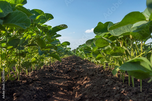 Fototapeta A field of young soybean shoots stretch up