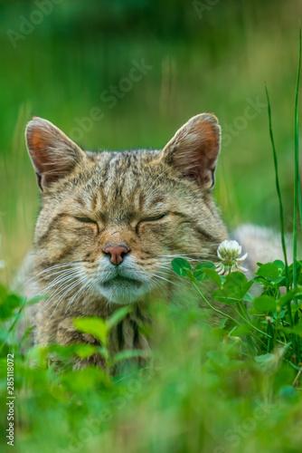 Fényképezés European wildcat (felis silvestris) almost sleeping in grass