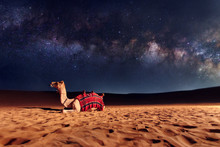 Camel Animal Is Sitting On The...