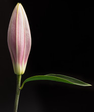 An Unopened Lily Flower And Leaf