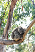 Koala On A Tree Near The Great Ocean Road