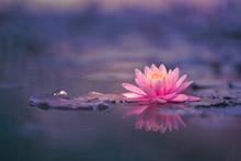 Water Lily Floating On The Water