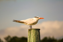 Royal Tern (Thalasseus Maximus) In Fall With Faded Black Crest Perched On Wooden Piling