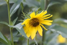 Giant Sunflower, Helianthus Gi...