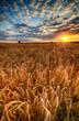 Beautiful summer sunrise over wheat fields