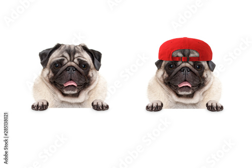 Fototapeta frolic smiling pug puppy dog wearing red cap hat, with paws on white banner, isolated obraz na płótnie