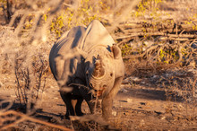 Close-up Of A Black Rhinoceros - Diceros Bicornis- Browsing Behind Bushes In Etosha National Park, Namibia, Just Before Sunset.