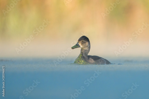 Redhead hen with green algae covering bill swimming left on calm pond in front of smooth amber background Wallpaper Mural