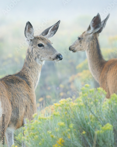 Two Mule Deer looking back standing in foggy prairie with yellow flowers and smooth light background Canvas-taulu