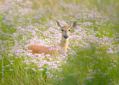 Valokuvatapetti White-tailed Deer standing in deep prairie with purple flowers and green grass