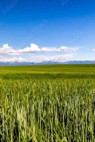 Wheat field with Mountains in Background Canvas Print