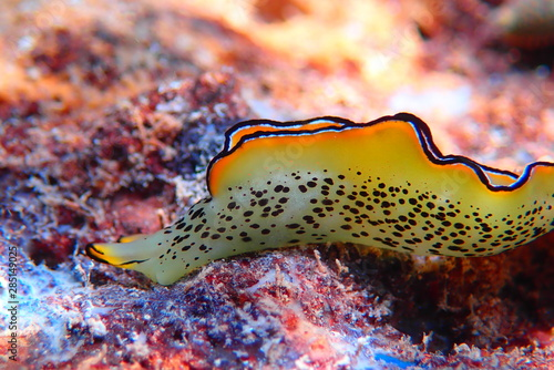 Fototapeta  Elysia marginata or Elysia ornata, Nudibranch scene underwater in Mediterranean