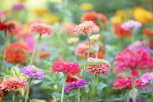Original Photograph Of Colorful Zinnia Flowers Growing In The Garden