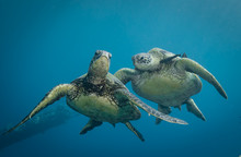 Turtles In Hawaii Chilling At A Cleaning Station