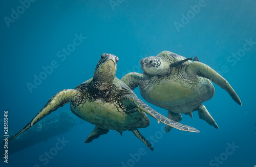 Canvas Print Turtles in Hawaii chilling at a cleaning station