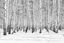 Black And White Photo, Birch F...