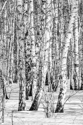 La pose en embrasure Bosquet de bouleaux Black and white photo, birch forest winter landscape.