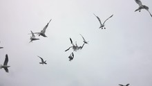Feeding Hungry Seagulls From Boat. Throwing Piece Of Fish Straight Up And Seagull Catches It. Slow Motion.
