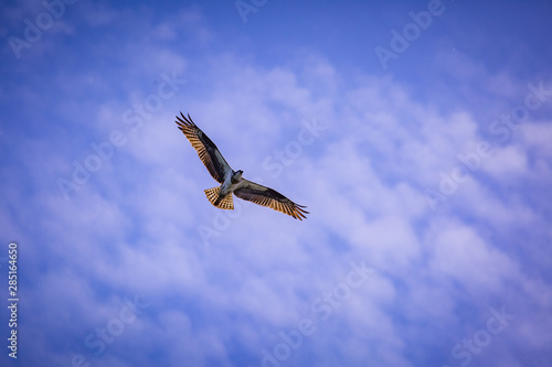 Osprey soaring in the blue sky with clouds  #285164650