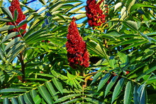 Rhus Typhina, Red Blossom Of S...