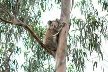 A Wild Koala In The You Yangs,...