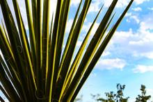 Yucca Cactus Desert Plant