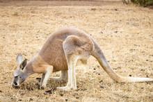 A Small Brown Kangaroo On Phillips Island, Victoria, Australia.