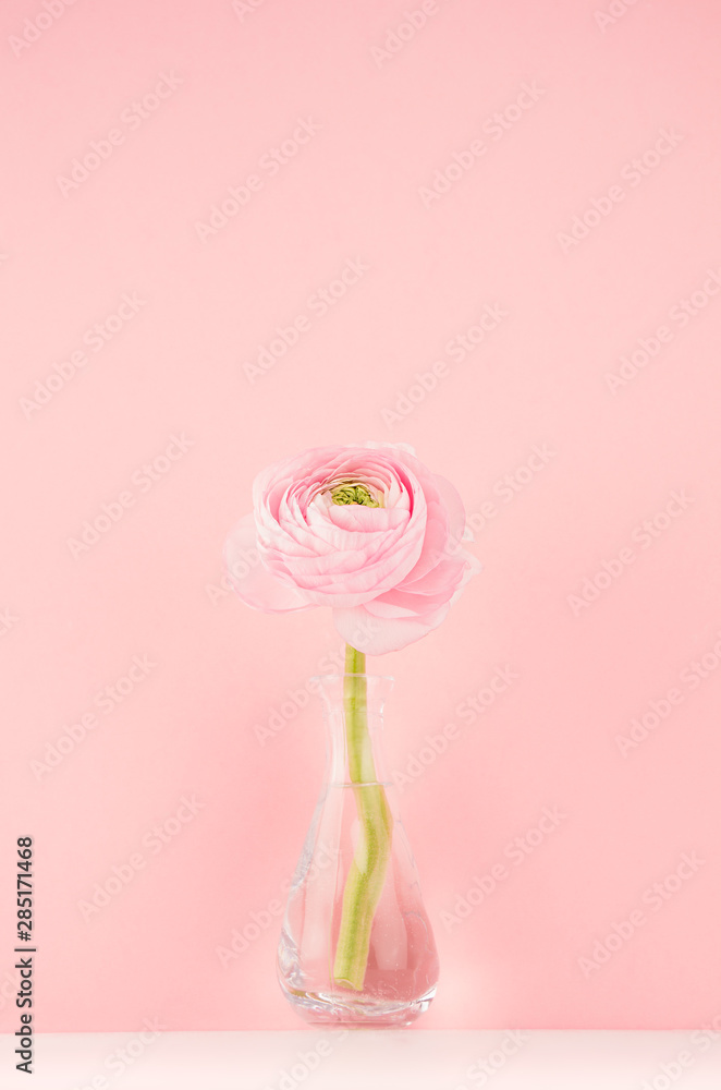 Obraz Fresh lovely spring  ranunculus in delicate vase in gentle soft light pink color interior, vertical. fototapeta, plakat