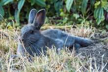 One Cute Grey Rabbit Laying On...