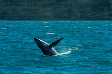 Humpback Whale Breaching In The Water