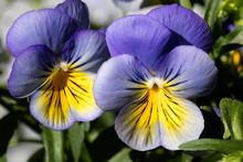 Flower Viola Tricolor Family V...