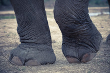 (Close Up)Asian Elephant's Fee...