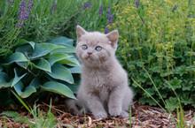 Gray British Kitten In The Gar...