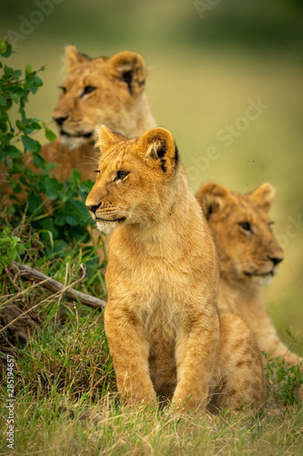 Photo Lion cub sits by bush with siblings