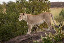 Lioness Stands Staring On Rock...