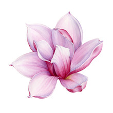 Watercolor Tender Pink Magnolia Flower Illustration. Hand Drawn Lush Spring Blossom. Isolated On The White Background