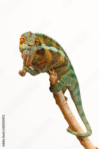 Poster Chameleon Pantherchamäleon (Furcifer pardalis) - Panther chameleon