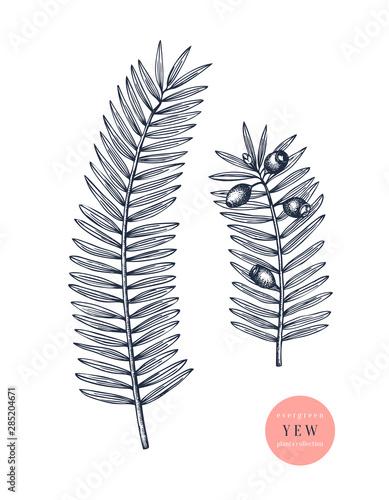 Fototapeta European yew vector illustration