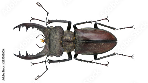 Fotografia  Lucanidae-Lucanus fukinukiae Katsura & Giang, 2002