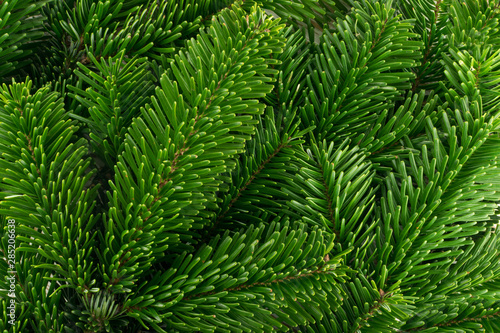 Photo Natural green spruce twig background or texture