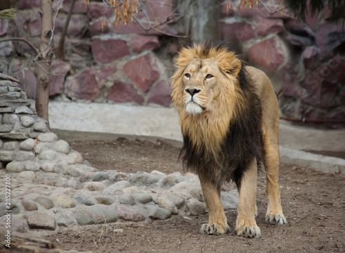 Lion.  Lion is a species of predatory mammals, one of the four representatives of the genus Panthers. The lion is the second largest of the living large cats, second only to the tiger.