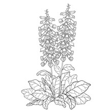 Bush Of Outline Toxic Digitalis Purpurea Or Foxglove Flower Bunch With Bud And Leaves In Black Isolated On White Background.