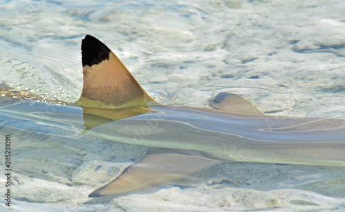 Aileron de requin au lagon bleu, Rangiroa, Polynésie Française Wallpaper Mural
