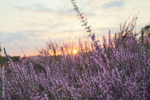 Spoed Fotobehang Lavendel Wunderschöner Sonnenuntergang in der blühenden Lüneburger Heide