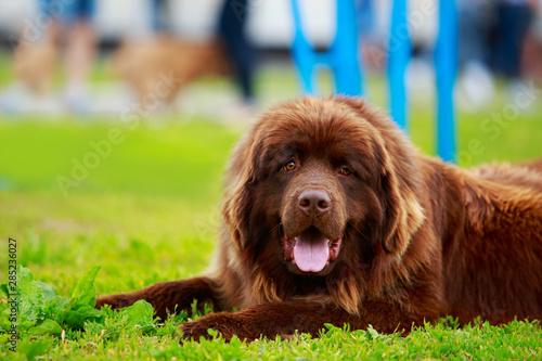 Dog breed Newfoundland Fototapeta