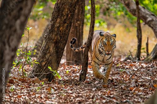 tygrys-w-lesie-bandhavgarh