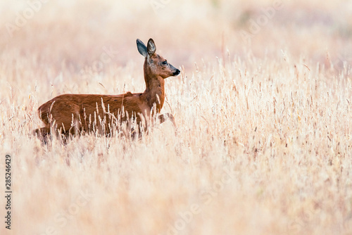 Roe deer doe walking through wheat field.