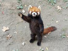 Cute Lesser Panda (red Panda) ...